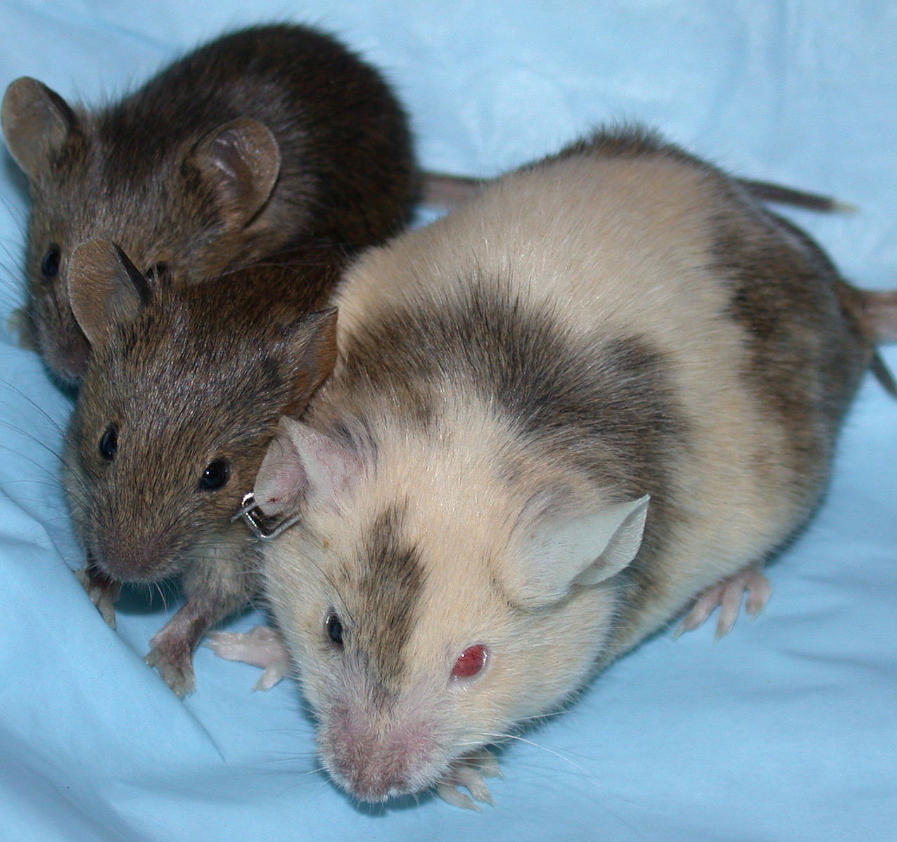 Chimeric Mouse with Pups